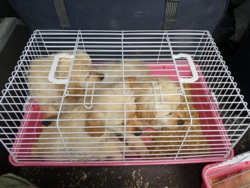 HZA-UL: Illegaler Tiertransport/Hundewelpen in Kaninchenboxen