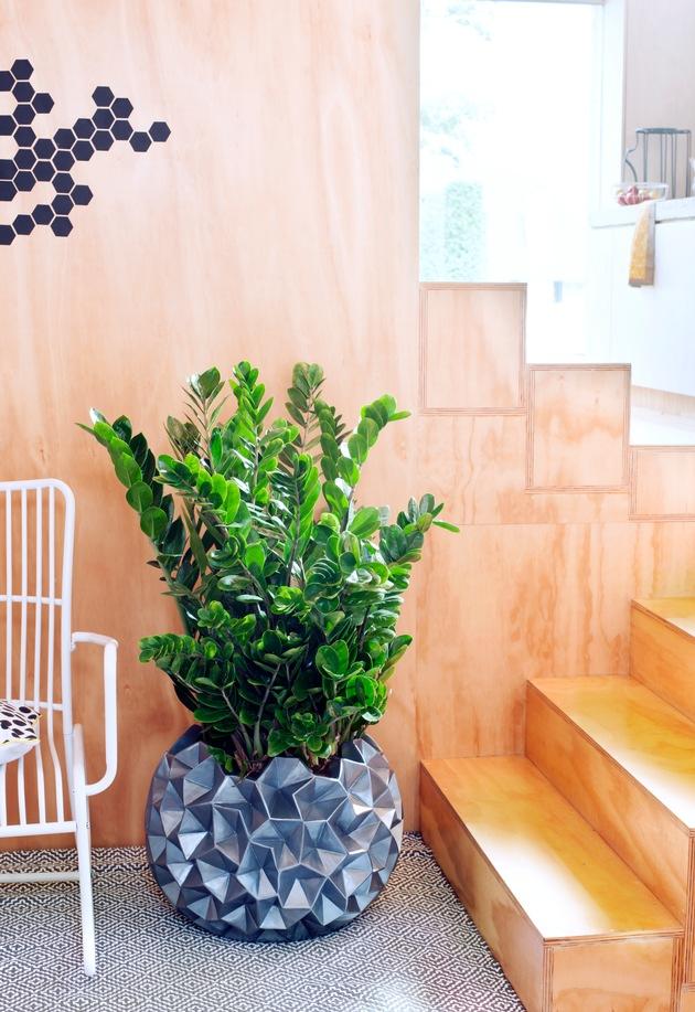 Zamioculcas ist Zimmerpflanze des Monats Juni  Widerstandsfhige Grnpflanze mit   Presseportal