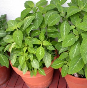 Salvia divinorum Jungpflanze
