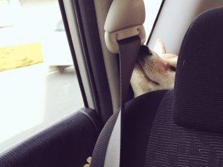 前に行きたいぃいいいっ…!車のシートの間から無理やり顔を出す柴犬の顔が大変なことになっててカワイイ