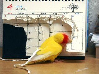 カレンダーを千切り、GWを消滅させたインコのイタズラが可愛すぎる