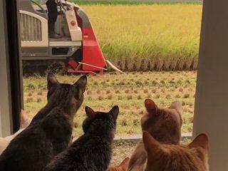 We Love 赤いコンバイン!作業の様子をじっと見つめる秋田の猫たちがカワイイのなんのって