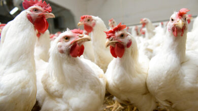 Photo of الزراعة: فتح باب الاستيراد حال استمرار ارتفاع أسعار الدواجن