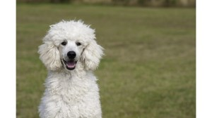 Куче, сключено във Великобритания версия на COVID