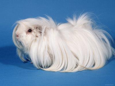 Guinea pig breeds | Pet Radio Magazine