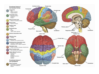 Brain from side, side cutaway, top, and bottom, color-coded