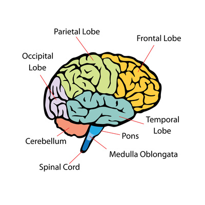 side view of the brain with the different structures of the cortex, cerebellum and brainstem labeled