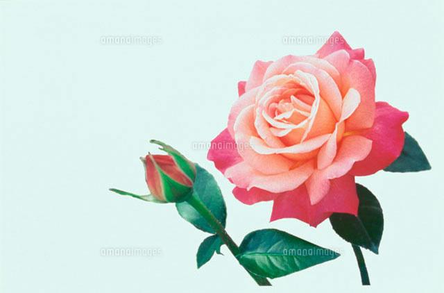 一輪のピンクのバラと蕾と葉[10120000640]| 寫真素材・ストックフォト・畫像・イラスト素材|アマナイメージズ