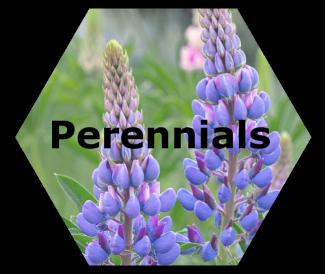cache valley nursery perennials