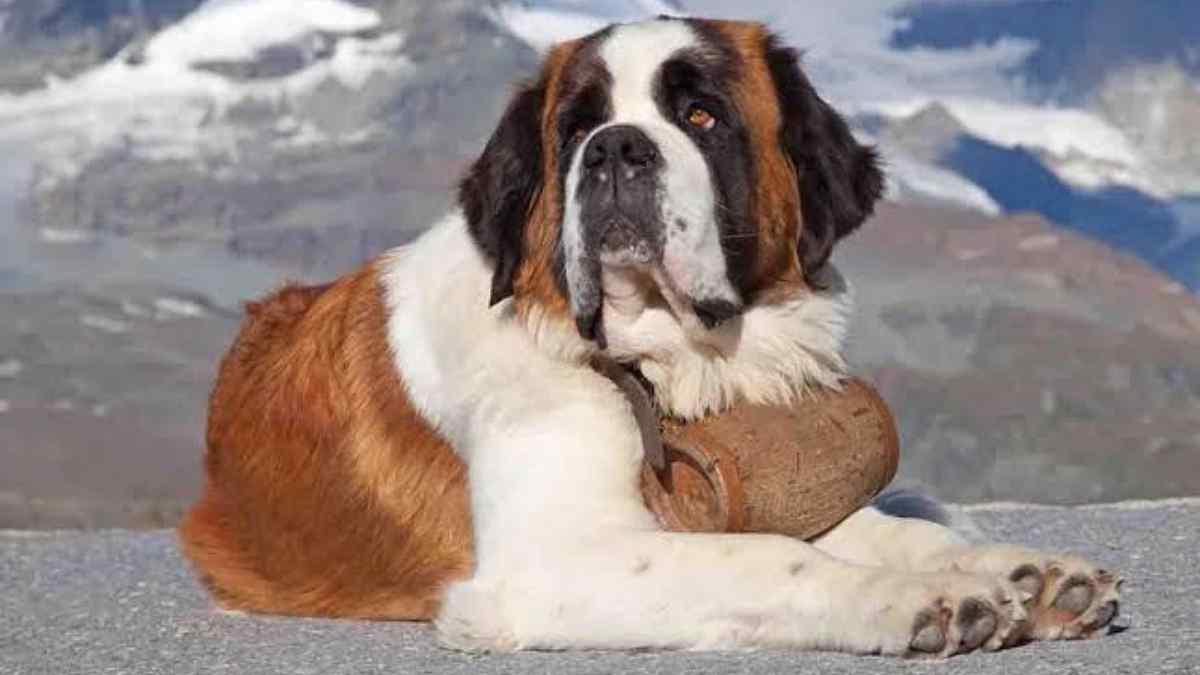 Cachorro São Bernardo