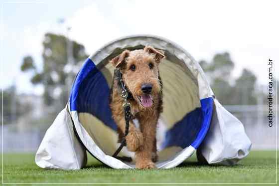 Airedale Terrier - Adestramento
