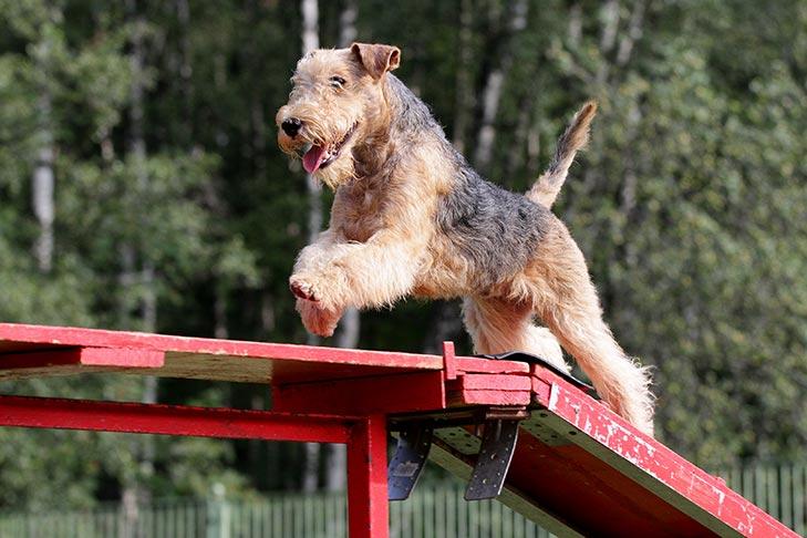 Airedale Terrier - Atividade física