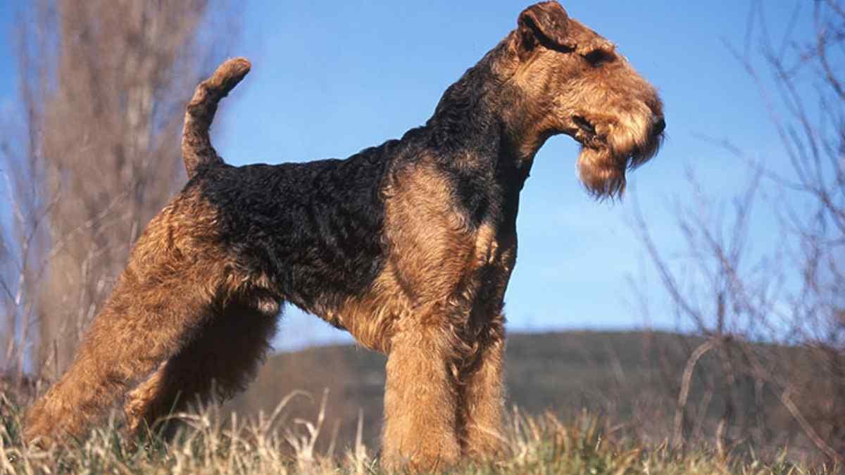 Airedale Terrier - Tudo sobre a raça