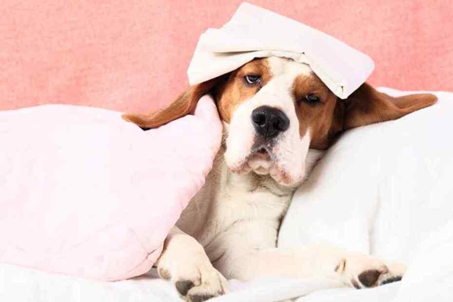 Cachorro com Febre, o que Fazer?