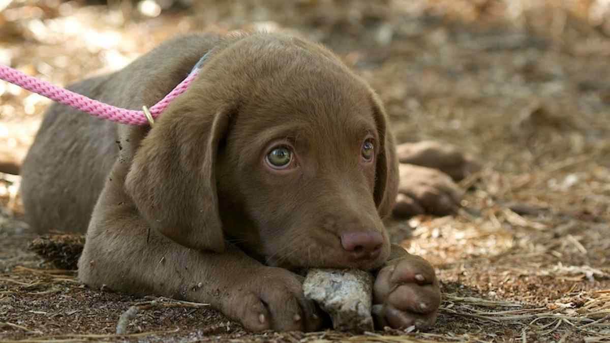 Porque Cachorro Come Pedra
