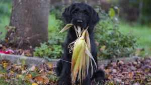 cachorro pode comer milho