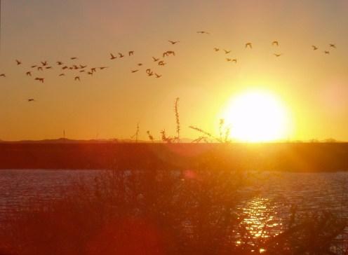 ducks at lake sunset