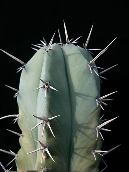 june 2011 Myrtillocactus geometrizans  CactiGuidecom