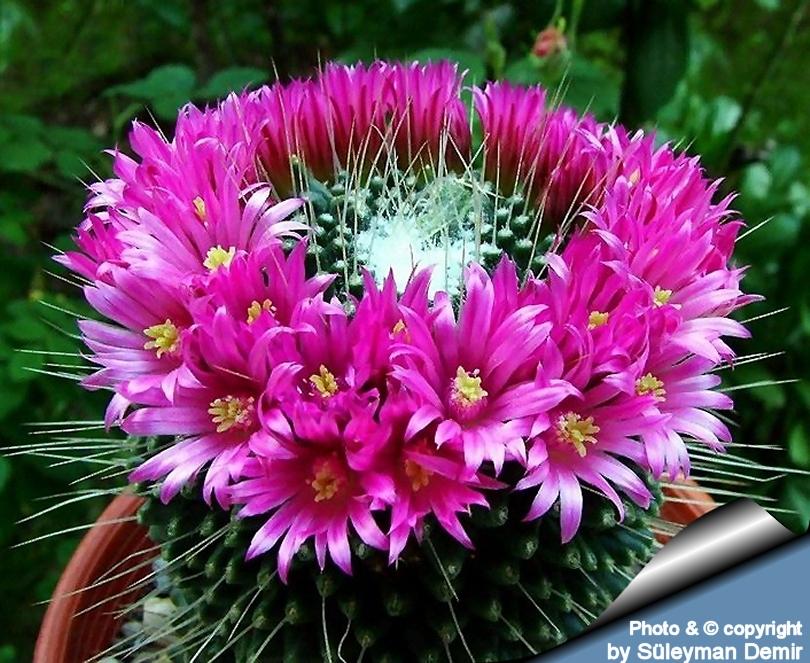 Mammillaria Spinosissima  Cactus y Plantas Crasas