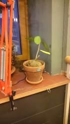 """Myrmecodia - im """"House of small Wonders"""" - so eine Pflanze erwarte ich in einem Botanischen Garten - in einem Cafe? Und auch noch gut gepflegt. Respekt!"""