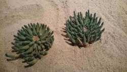 Hoffentlich gräbt diese Euphorbia nicht jemand aus...