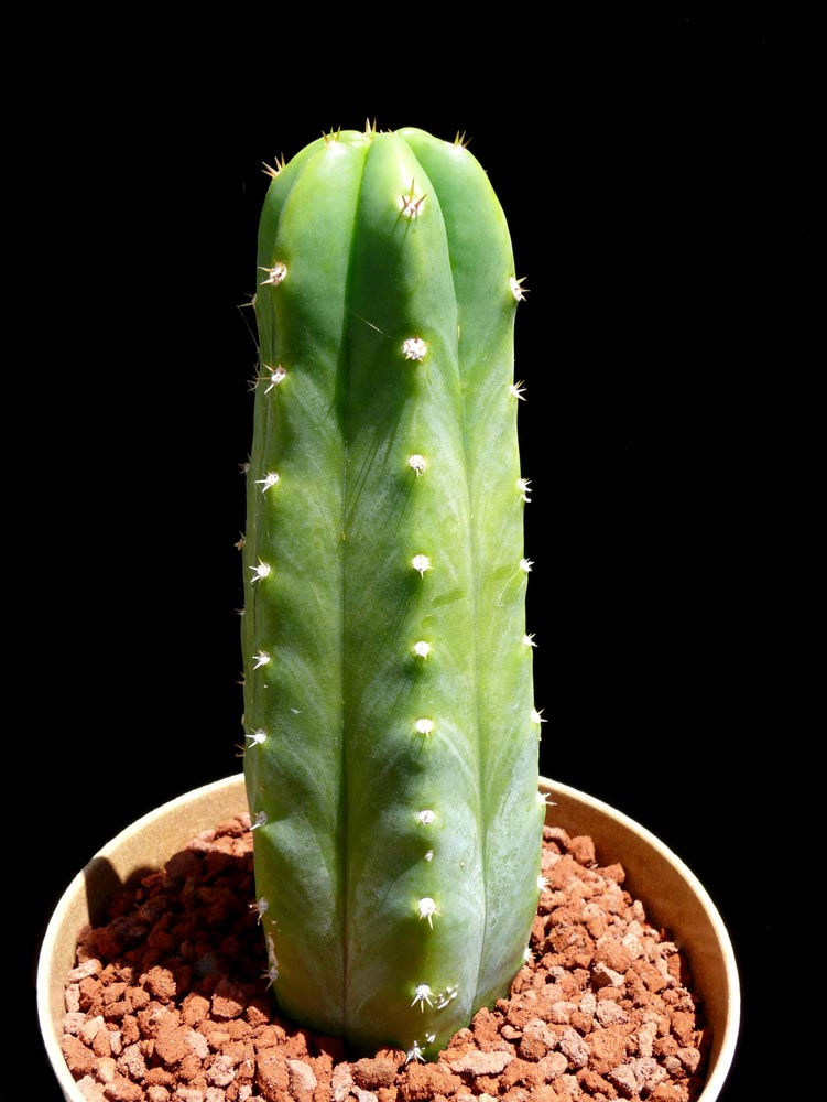 Large Succulent Plants Sale