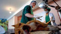 Un veterinario prepara a un perro para intervenirle quirúrgicamente