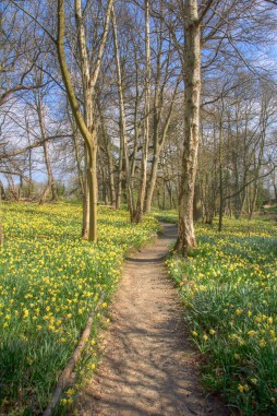 Daffodil Lined Path at Warley Place