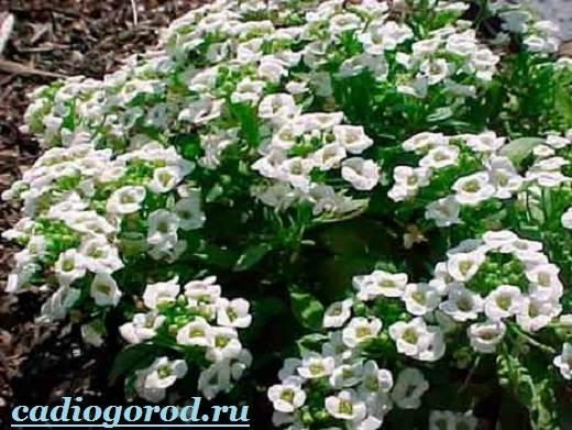 Алиссум-Описание-и-уход-за-цветком-алиссумом-2