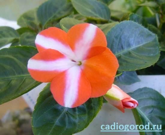Бальзамин-цветок-Описание-и-уход-за-бальзамином-10