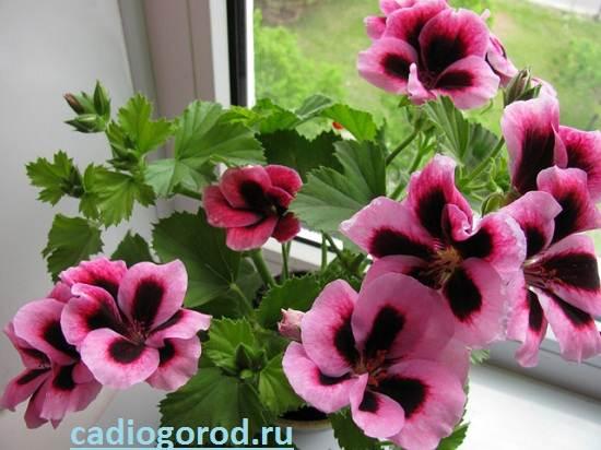 Герань-Описание-и-уход-за-цветком-герань-1