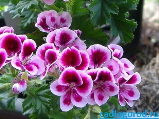 Герань-Описание-и-уход-за-цветком-герань-3