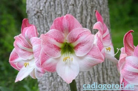 Гиппеаструм-Описание-и-уход-за-цветком-гиппеаструмом-4