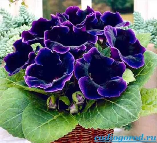 Глоксиния-Описание-и-уход-за-цветком-глоксиния-3
