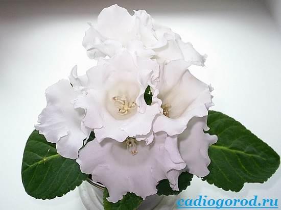 Глоксиния-Описание-и-уход-за-цветком-глоксиния-9