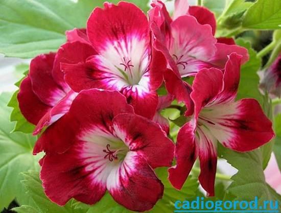 Пеларгония-цветок-Описание-пеларгонии-Виды-и-уход-за-пеларгонией-10