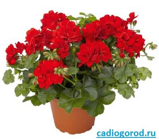 Пеларгония-цветок-Описание-пеларгонии-Виды-и-уход-за-пеларгонией-2