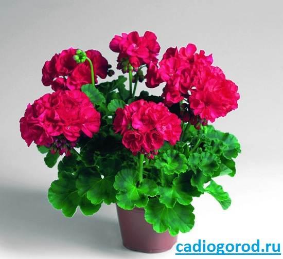 Пеларгония-цветок-Описание-пеларгонии-Виды-и-уход-за-пеларгонией-4