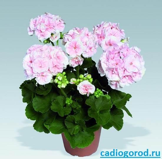 Пеларгония-цветок-Описание-пеларгонии-Виды-и-уход-за-пеларгонией-5