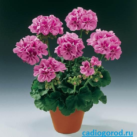 Пеларгония-цветок-Описание-пеларгонии-Виды-и-уход-за-пеларгонией-6