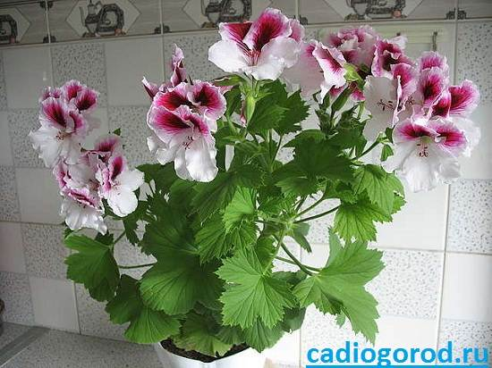 Пеларгония-цветок-Описание-пеларгонии-Виды-и-уход-за-пеларгонией-7