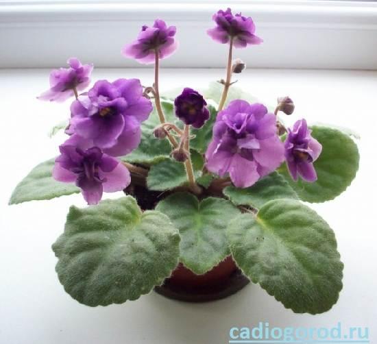 Сенполия-Описание-и-уход-за-цветком-сенполия-1