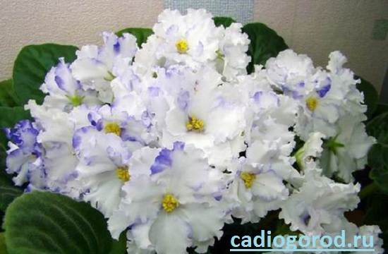 Сенполия-Описание-и-уход-за-цветком-сенполия-5