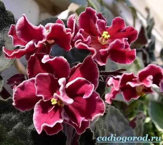 Фиалка-цветок-Описание-и-уход-за-фиалкой-3