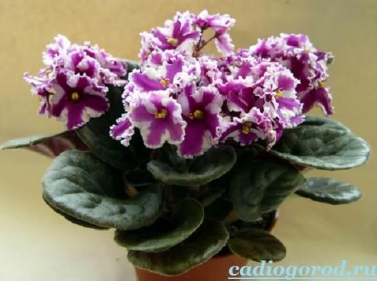 Фиалка-цветок-Описание-и-уход-за-фиалкой-4