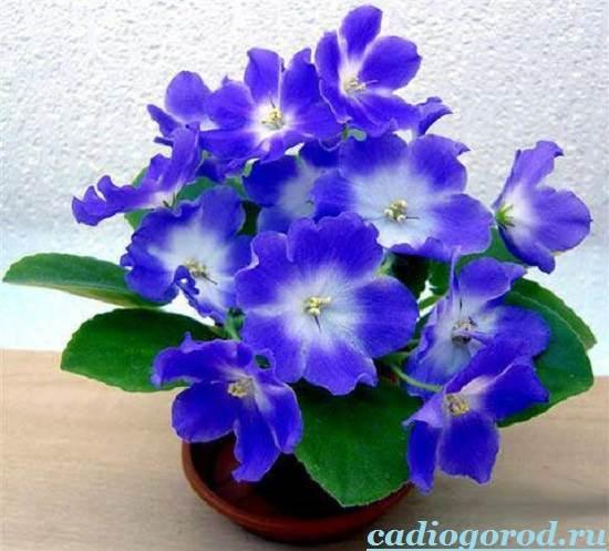 Фиалка-цветок-Описание-и-уход-за-фиалкой-6