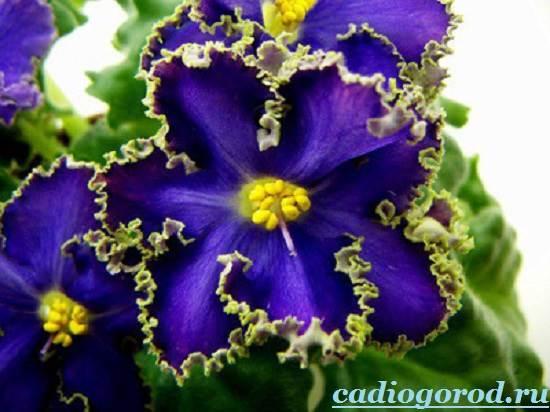 Фиалка-цветок-Описание-и-уход-за-фиалкой-7