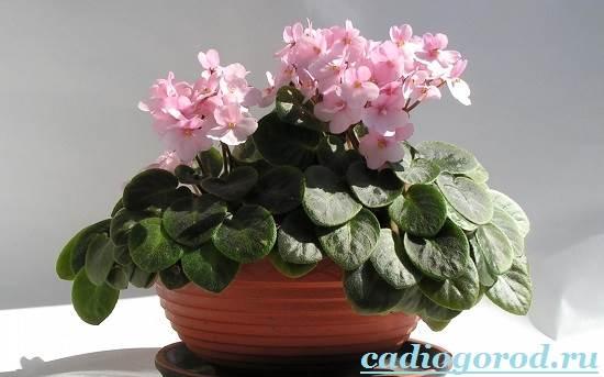 Фиалка-цветок-Описание-и-уход-за-фиалкой-8