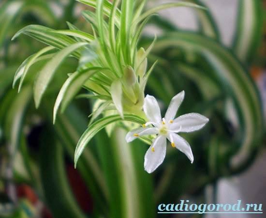 Хлорофитум-Описание-и-уход-за-цветком-хлорофитумом-10