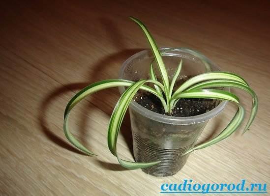 Хлорофитум-Описание-и-уход-за-цветком-хлорофитумом-8